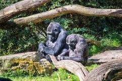 Gorilles de sommeil Photo stock