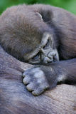 Gorilles de terre en contre-bas occidentale images stock
