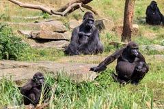 Gorilles de terre en contre-bas occidentale image libre de droits