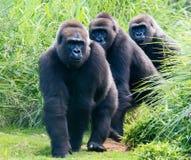 Gorilles sur une traînée images stock