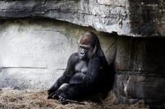 Gorillla Stockfotos