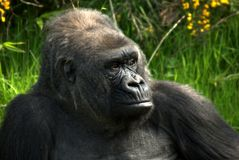 Gorillla Abschluss oben Lizenzfreie Stockfotografie