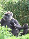 gorillor Arkivfoton