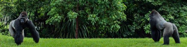Gorillor för västra lågland som står banret arkivfoton