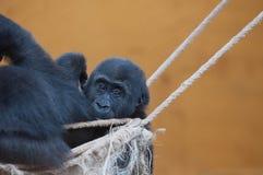 Gorillor i det naturligt parkerar av nordliga Spanien royaltyfria foton