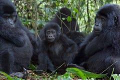gorillor tre Fotografering för Bildbyråer