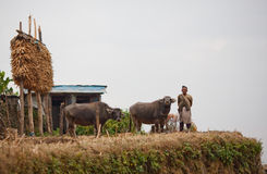 Gorkhas Landarbeiter in der nationalen Kleidung mit Büffel Lizenzfreies Stockbild