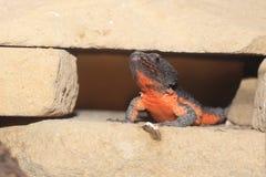 Gorongosa omgav ödlan Arkivfoton
