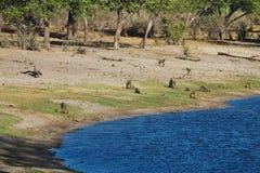 Goroup-Pavian im Sumpflebensraum, Nationalpark Bwabwata, Namibia Stockfotos