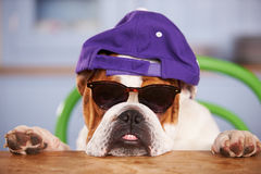 Gorra de béisbol que lleva de mirada triste del dogo británico Fotos de archivo libres de regalías