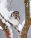 gorrión Blanco-coronado en nieve Foto de archivo