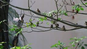 Gorrión de árbol eurasiático almacen de video