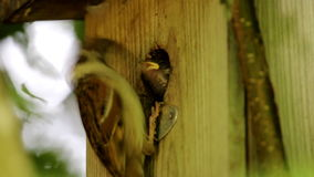 Gorrión de árbol eurasiático de alimentación en Brummen, Holanda metrajes