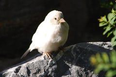 Gorrión de casa del albino Imagen de archivo