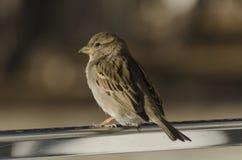 Gorrión de casa del pájaro Fotografía de archivo libre de regalías