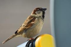 Gorrión de casa, domesticus del transeúnte, especie de un pequeño pájaro del Passeridae de la familia del gorrión Foto de archivo