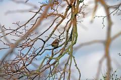 Gorrión de casa en árbol Imagenes de archivo
