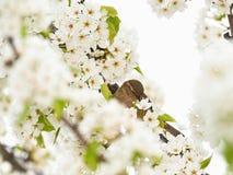 Gorrión de casa en un árbol del árbol del flor Imagen de archivo libre de regalías