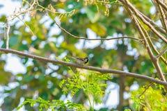 Gorrión de casa encaramado en una rama de árbol Foto de archivo libre de regalías