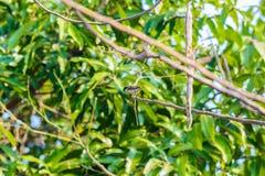 Gorrión de casa encaramado en una rama de árbol Fotos de archivo