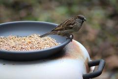 Gorrión de casa que come la semilla Foto de archivo