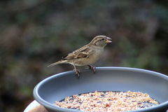 Gorrión de casa que come la semilla Fotos de archivo