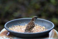 Gorrión de casa que come la semilla Fotografía de archivo