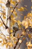 Gorrión del otoño Fotografía de archivo