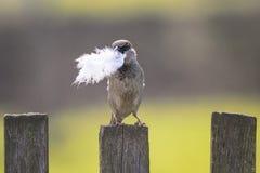 Gorrión del pájaro que se sienta en la cerca de madera con una pluma en su pico Foto de archivo libre de regalías