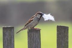 Gorrión del pájaro que se sienta en la cerca de madera con una pluma en su pico Foto de archivo