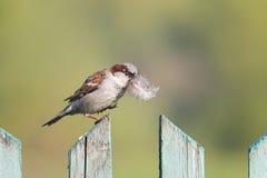 Gorrión del pájaro que se sienta en la cerca de madera con una pluma en su pico Imagen de archivo libre de regalías