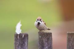 Gorrión del pájaro que se sienta en una cerca de madera vieja con la pluma para la jerarquía en pico Fotografía de archivo