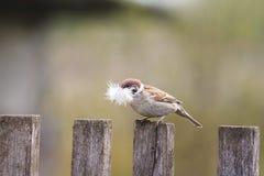 Gorrión del pájaro que se sienta en una cerca de madera vieja con la pluma para la jerarquía en pico Fotos de archivo
