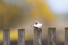 Gorrión del pájaro que se sienta en una cerca de madera vieja con la pluma para la jerarquía en pico Fotos de archivo libres de regalías