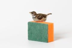 Gorrión del polluelo con una esponja para los platos que se lavan, aislada en w Imagenes de archivo