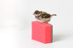 Gorrión del polluelo con una esponja para los platos que se lavan, aislada en w Imagen de archivo