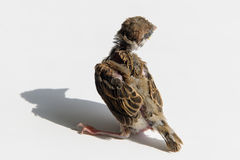 Gorrión del polluelo en el sol Fotos de archivo libres de regalías