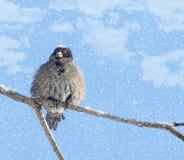 Gorrión desaliñado y nieve Imagen de archivo