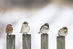 gorrión divertido de los pájaros que se sienta en una cerca de madera vieja y que mira en diversas direcciones Foto de archivo libre de regalías