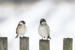 gorrión divertido de los pájaros que se sienta en una cerca de madera vieja y que mira en diversas direcciones Fotografía de archivo libre de regalías