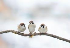 gorrión divertido de los pájaros que se sienta en una rama en invierno Imagen de archivo libre de regalías