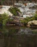Gorrión (domesticus del transeúnte) en la orilla de la charca del bosque para Imagenes de archivo