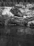 Gorrión (domesticus del transeúnte) en la orilla de la charca del bosque para Imagen de archivo