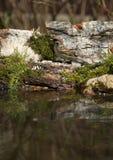 Gorrión (domesticus del transeúnte) en la orilla de la charca del bosque para Fotos de archivo