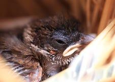 Gorrión en el sueño del gorrión del pájaro de bebé del nestMacro en la jerarquía Imagen de archivo