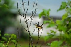 Gorrión en la planta seca Fotos de archivo