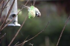 Gorrión en la semilla del pájaro Imágenes de archivo libres de regalías