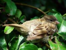 Gorrión en pera-árbol Imagen de archivo
