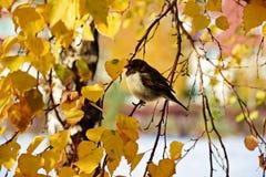 Gorrión en rama del abedul en otoño Fotografía de archivo