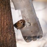 Gorrión en un alimentador del pájaro Imagen de archivo